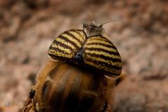 varios-cuenca-dicene-279 (gustavo@morejon.ec) Tags: insect fly big ecuador eyes wildlife bee ojos vida grandes silvestre mosca cuenca mimetic syrphidae insecto diptera azuay