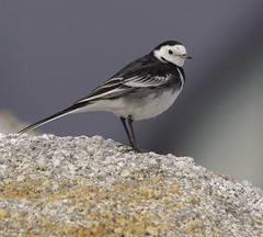 Pied Wagtail (Alistair Prentice.) Tags: county ireland winter irish bird newcastle coast birding sigma down 150 coastal co 500 prentice pied northern birder watcher wagtail kx twitcher birdperfect
