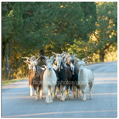 Right of Way (pongo 2007) Tags: road europe goats umbria pongo2007