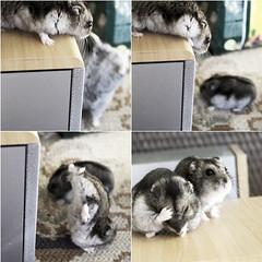 Quem se lembra daquela brincadeira : Siga o mestre? (laisadgs) Tags: hamster youmakemesmile