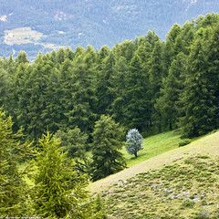 Little silver tree (bruno_mesmin) Tags: mountain france alps tree green nature montagne silver landscape paysage arbre alpesmaritimes silvertree valberg
