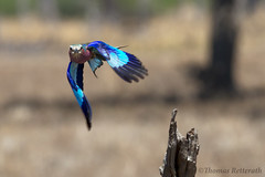 Roller in flight (Wild Dogger) Tags: africa travel bird nature birds animals canon tiere wildlife urlaub natur safari afrika vgel zambia vogel lilacbreastedroller 2011 coraciascaudata sambia mfuwe gabelracke specanimal southluangwavalley canoneos7d thomasretterath birdperfect photographyforrecreationeliteclub photographyforrecreationclassic