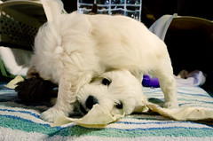 Twister (Ame Otoko) Tags: dog pet white cute face animal puppy fun furry funny play fuzzy adorable scratch playful active
