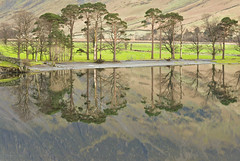 DSC_0204 A classic view (wilkie,j ( says NO to badger cull :() Tags: trees winter mountains water reflections landscape nikon lakes lakedistrict cumbria nationalparks nationaltrust buttermere scenicwater buttermerepines