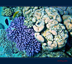 A spasso con Yelly, il mare diventa viola - Swimming with Yelly, the sea becomes purple (18) (Jambo Jambo) Tags: sea mare underwater redsea egypt sharmelsheikh snorkeling pesci reef fishes egitto corals yelly barrieracorallina marrosso coralli jambojambo olympusutough8010