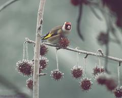 Carduelis carduelis (FedericaBoiocchiPhotography) Tags: bird natura uccelli inverno freddo animali uccello cardueliscarduelis europeangoldfinch uccellino amberliquid cardellino nevechhimica