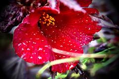 crying hibiscus (Baja Juan) Tags: flowers red plants blur green water drops texas bokeh hibiscus tropical baja