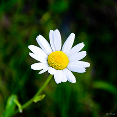 Baldersbr (Ninnie B) Tags: flower mayweed