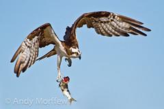 Fumble!! (Andy Morffew) Tags: island florida marco osprey bif specanimal avianexcellence naturethroughthelens birdperfect onlythebestofnature tigertailbeachpark andymorffew morffew