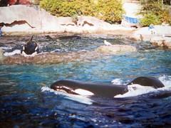 Killer Whale (DianesDigitals) Tags: whale whales orca killerwhale orcas orcinusorca dianesdigitals rarecaptiveorcaphotos cetaceancousinsphotolibrary