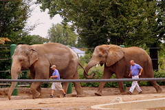 Elephant train - Louisville Zoo (SeeMidTN.com (aka Brent)) Tags: elephant zoo kentucky ky louisville elephants asianelephant africanelephant louisvillezoo zoosofthesouth bmok bmok2