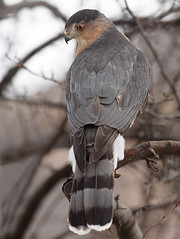 Cooper's Hawk (Tony Tanoury) Tags: wild tree bird nature animal closeup fauna bill hawk michigan wildlife ngc beak feather npc raptor perch predator ornithology birdwatching avian birdofprey coopershawk accipitercooperii avianexcellence