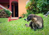 El tejón (doesn't share food) (uhx72) Tags: look animal nice badger racoon coati tejon mapache procyon nasua