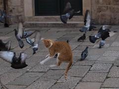 Cat among the pigeons (fame&obscurity) Tags: orange cats bird danger cat warning fur fun ginger jump jumping orangecat feline funny humorou