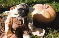 First Halloween costume: Pork as Yoda Pig (WeeLittlePiggy) Tags: puppy pug