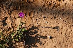 fiore nel deserto (massimo palanza) Tags: italia mare natura ombre erba fiore abruzzo sabbia chieti vasto nikond300 massimopalanza