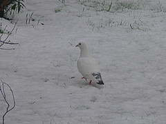 Gosh my feet are getting cold..... (Afgil (please see profile)) Tags: snow pigeon camouflage whitepigeon naturemasterclass