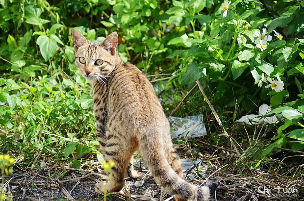 [Cat]台北關渡宮。好日,虎班漫步