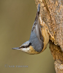 Nuthatch (Novisteel) Tags: winter birds flickr wildlife nuthatch nspp ngdphotos