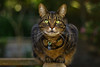 'The smallest feline is a masterpiece' (.•۫◦۪°•OhSoBoHo•۫◦۪°•) Tags: green love cat canon 50mm feline chat dof bokeh tabby pussy davinci kitty lucky felino katze piccolo gatto amore miaow bello bellissimo bellino gattomio canoneos40d
