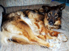 Sandy looking cute (Twinnkle) Tags: dog pet pets dogs animals collie derbyshire finepix fujifilm bordercollie belper j100
