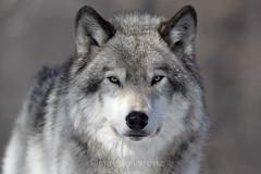 I See Right Through You (Megan Lorenz) Tags: canada wolf quebec getty captive parcomega montebello greywolf mlorenz meganlorenz