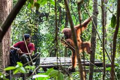Sepi and Ranger 4523 (Ursula in Aus (Resting - Away)) Tags: animal sumatra indonesia unesco orangutan bukitlawang sepi gunungleusernationalpark earthasia