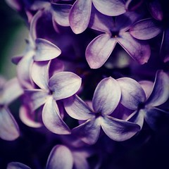 Lilacs (Nikongurl38) Tags: square squareformat unknown iphoneography instagramapp uploaded:by=instagram