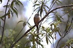 rock bunting - I think :-) (alanrharris53) Tags: portugal aves algarve bribe rockbunting