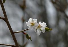 forest cherry 1 (wundoroo) Tags: flowers two white newyork spring bronx duo april cherryblossoms nybg newyorkbotanicalgarden floweringcherry cherrycollection