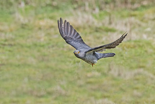 Cuckoo (Cuculus canorus)