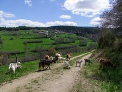 Lo Bec 2016 (Grand-Papp, charrette...) Tags: goats auvergne cabras chvre massifcentral chevreaux hauteloire margeride chabre hautesterres lobe labesseyre marjarida chabrit