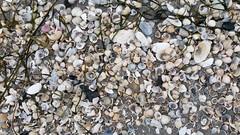 Muscheln (Manuela Vierke) Tags: beach strand germany deutschland balticsea insel rgen strandgut isle ostsee mrz binz muschel mecklenburgvorpommern 2016 muscheln meckpomm