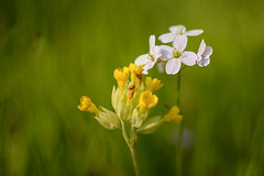 Wiesenschaumkraut (Bluespete) Tags: flower germany nikon meadow wiese cc psi blume wiesenschaumkraut wiesenblume d7100 schlusselblume petersieling 6322425 32143153 bluespete
