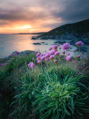 See Pink Sea Pinks (Timothy Gilbert) Tags: sunset cliff flower beach cornwall wideangle panasonic ultrawide seapinks freathy gx7 olympus918mmf4056