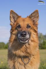 Smile for the camera he said? (Mick Erwin) Tags: dog max shepherd german alsatian