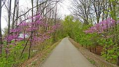 Purple flowers (Larry the Biker) Tags: flowers bikepath spring purple michigan blossoms trail blooms vernal railstotrails railtrail biketrail trailway shelbytownship macomborchardtrail