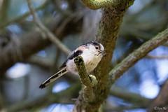 Staartmees-5501 (Djien) Tags: vogels