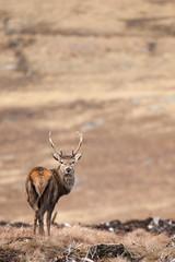 SJ7_6123 (glidergoth) Tags: red scotland deer reddeer cervuselaphus