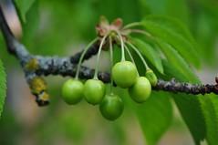 Kirsikesed (anuwintschalek) Tags: green home garden austria cherries may grn garten niedersterreich frhling kodu aed kevad 2016 kirschen wienerneustadt roheline kirsid kirsipuu d7k murelid nikond7000 18140vr