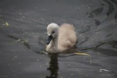 Little Swan (Max Jongkoen) Tags: baby swan zwaan littleswan jongezwaantjes