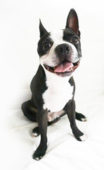 Any given day (lezumbalaberenjena) Tags: dog chien boston perro terrier bully chiot