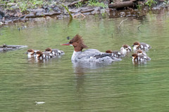 Common Merganser with Ducklings (flying cats (AKA Penny Carlson)) Tags: water river landscape duck newjersey nj ducklings commonmerganser raritan southbranch