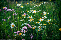 Margerite (Hanspeter Ryser) Tags: red flower green rot nature grass spring natur meadow wiese gras marguerite grn blume mohn margerite oppy frhlin