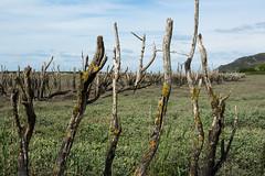 """""""Fingers to the sky"""" (Graham Dash) Tags: trees somerset deadtrees porlockweir saltmarshes porlockmarsh"""