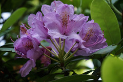 Rhododendron (MyLion5) Tags: badhomburg kurpark