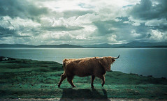 Highland Cow (brian-moore) Tags: scotland cow xpro crossprocessed cattle olympus highland highlandcattle xa3 applecross retrochrome320