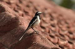 White-browed wagtail on the roof (as_kannan) Tags: coorg motacillamadaraspatensis pnheritage