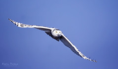 Snowy Owl (Kevin Povenz Thanks for all the views and comments) Tags: november blue sky white bird fly wings flight owl muskegon snowyowl birdsoforey