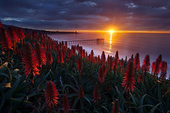 intensity (scripps pier, la jolla) (max vuong) Tags: flowers sunset red cactus plants sandiego blossoms lajolla foliage bloom scrippspier aloevera sunstar lenspath maxvuong